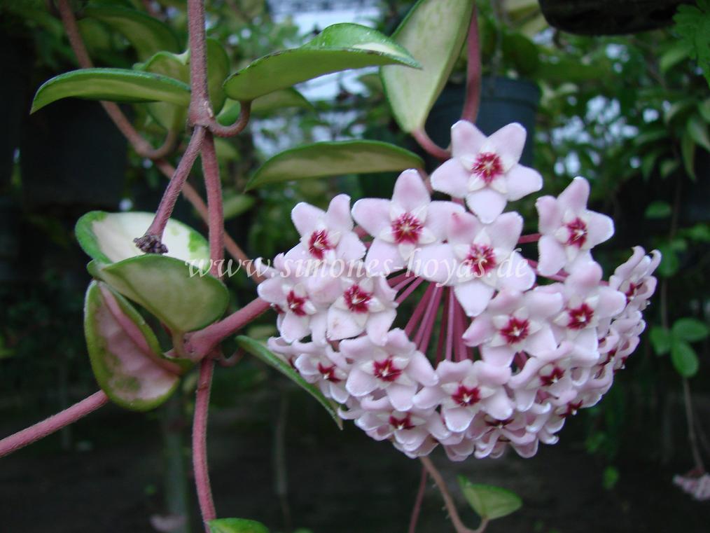 Hoya carnosa Exotica Blüte 1
