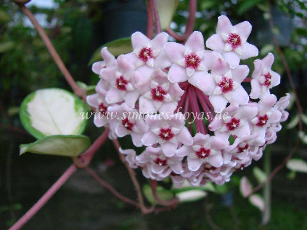 Hoya carnosa Exotica Blüte 2