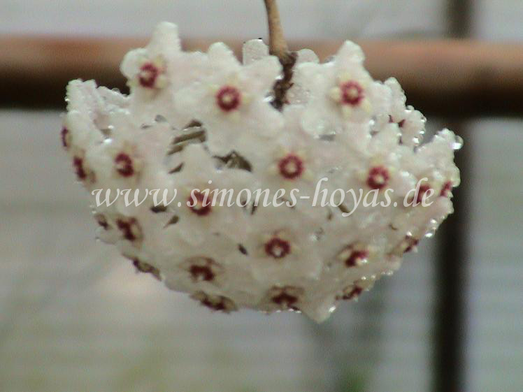 Hoya carnosa Thailand Blüte