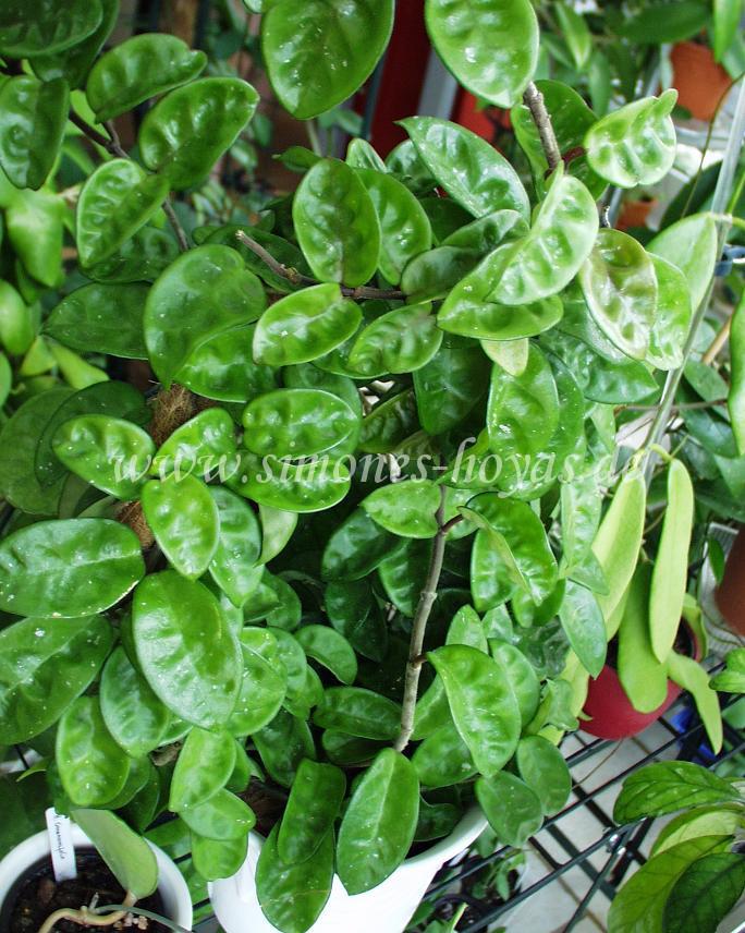 Hoya carnosa Krinkle 8 Blätter