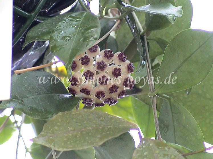 Hoya kerrii Blüte