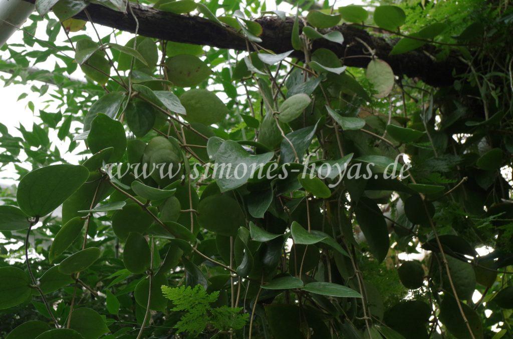 Hoya cinnamomifolia hängend im Baum