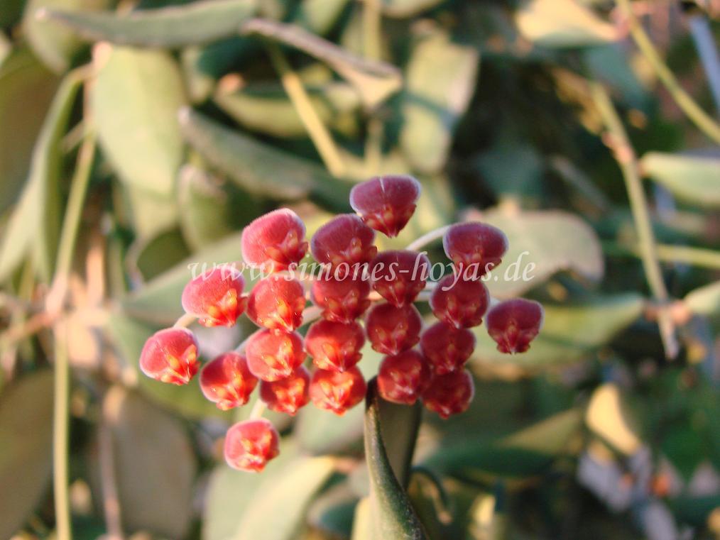 Hoya bilobata Blüte Detailaufnahme