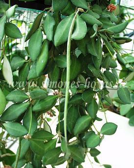 Hoya bilobata hort. IPPS 00087 Samenschote