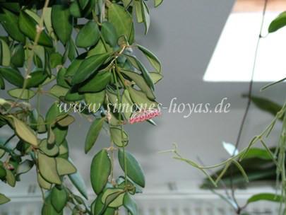 Hoya bilobata Hängefplanze mit Blüte
