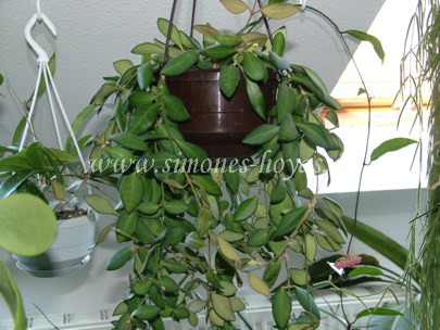 Hoya bilobata ganze Pflanze