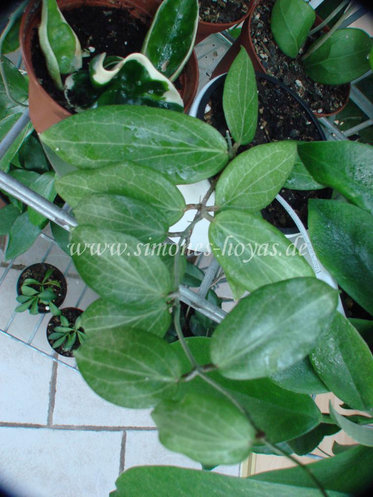 unindentifizierte philippinische Hoyaspezies CMF-8, die von vielen  Hoyaverkäufern als H. cagayanensis verkauft wird