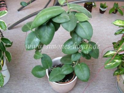 Hoya calycina Pflanze