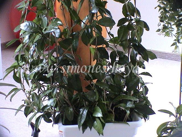 Hoya carnosa Pflanze
