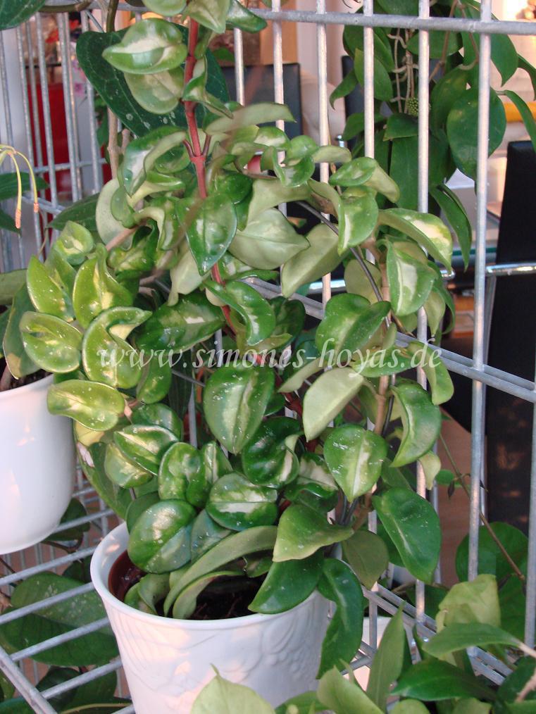 Hoya carnosa Krinkle 8 var. ganze Pflanze
