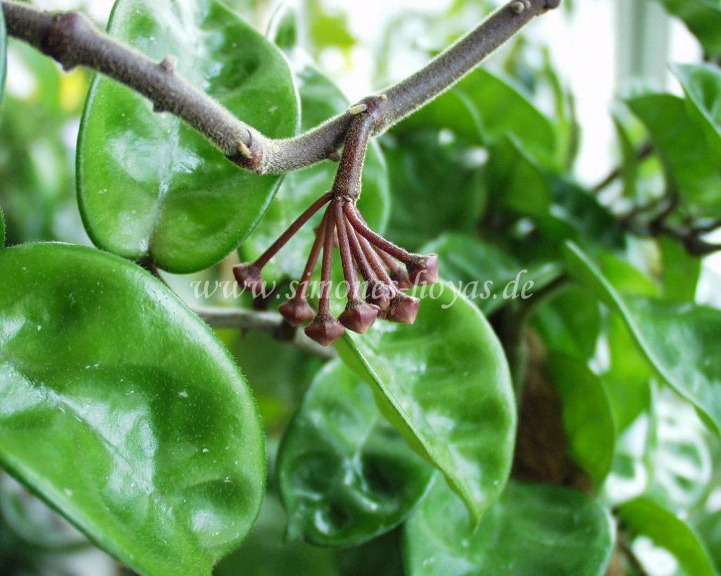 Hoya carnosa Krinkle 8 Knospe