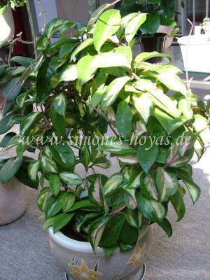 Hoya carnosa Exotica