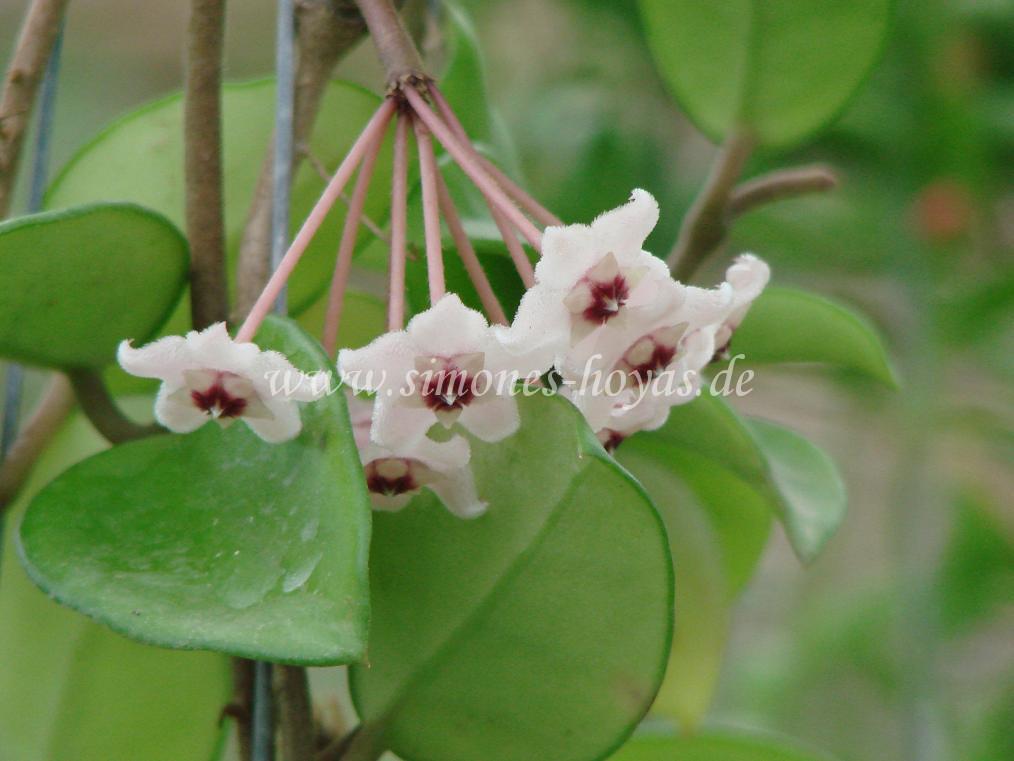 Hoya carnosa Thailand Blüte Detailaufnahme