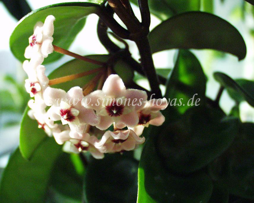 Hoya carnosa Krinkle 8 Blüte
