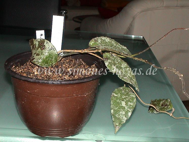 Hoya caudata kleine Pflanze