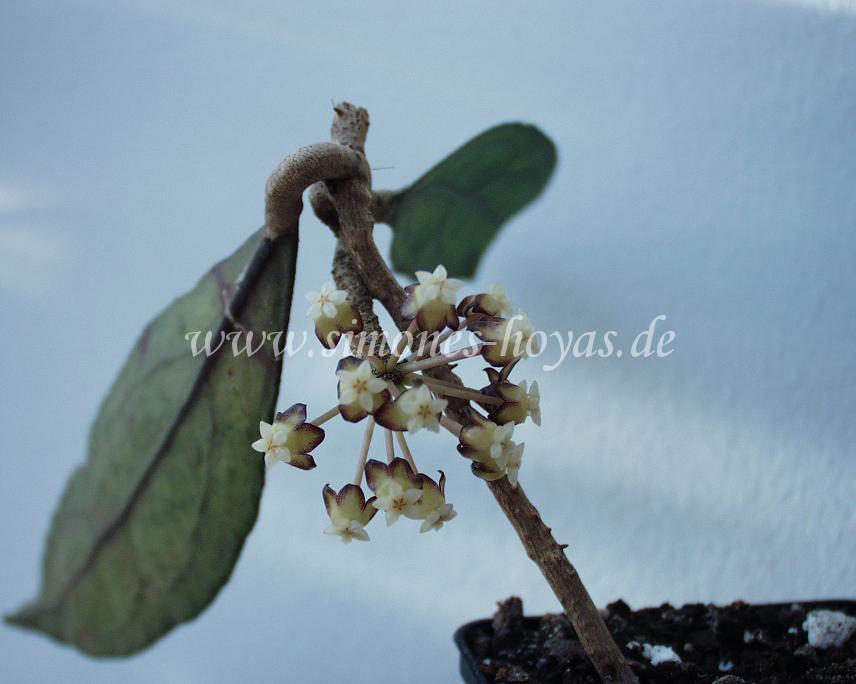 der im August aus Sabah, Borneo mitgebrachte Ableger der H. clemensiorum/ H. phyllora blüht bereits im September 2006
