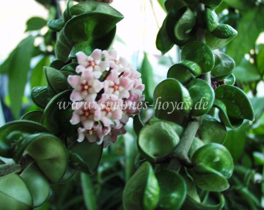 Hoya compacta Blüte an Pflanze