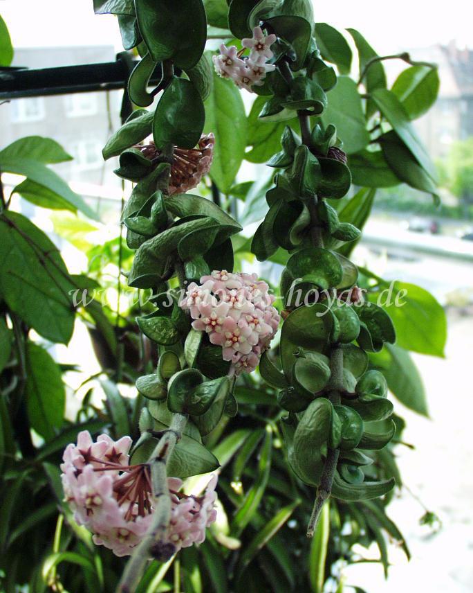 Hoya compacta Pflanz mit Blüten