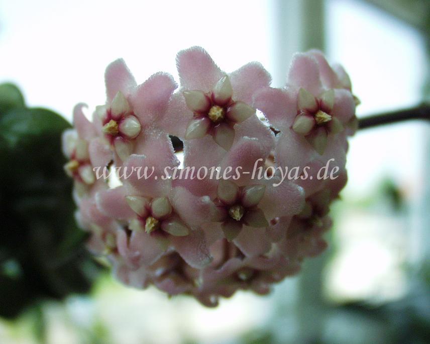 Hoya compacta Blüte Detail 3