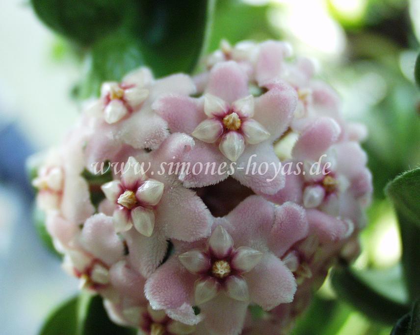 Hoya compacta Blüte Detail 1