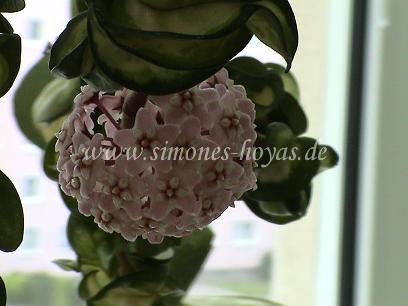 Hoya compacta Mauna Loa weitere Blüte