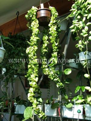 Hoya compacta Mauna Loa Pflanze
