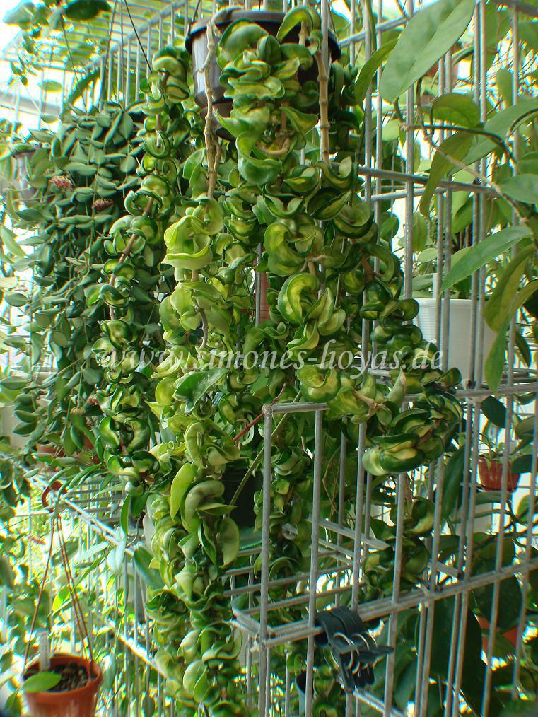 Hoya compacta Mauna Loa große Pflanze