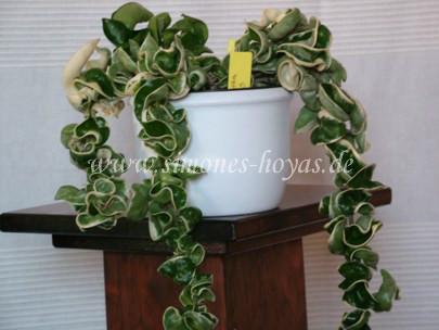 Hoya compacta Regalis Pflanze