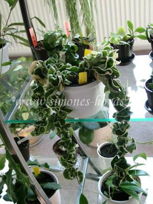 Hoya compacta Regalis weitere Pflanze