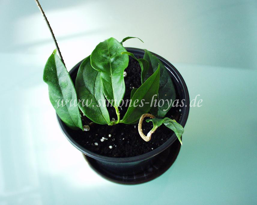 Hoya cystiantha Pflanze