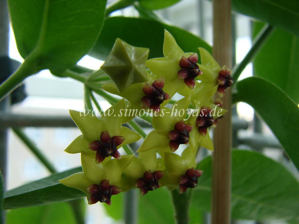 Hoya densifolia Blüte