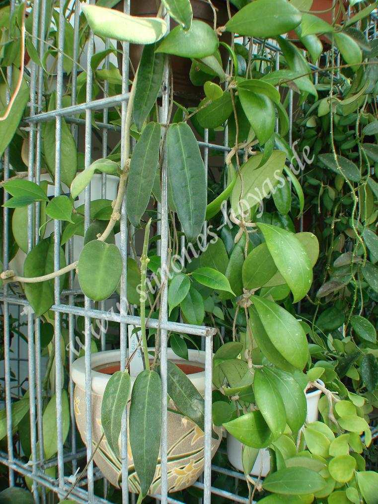 Hoya hypolasia