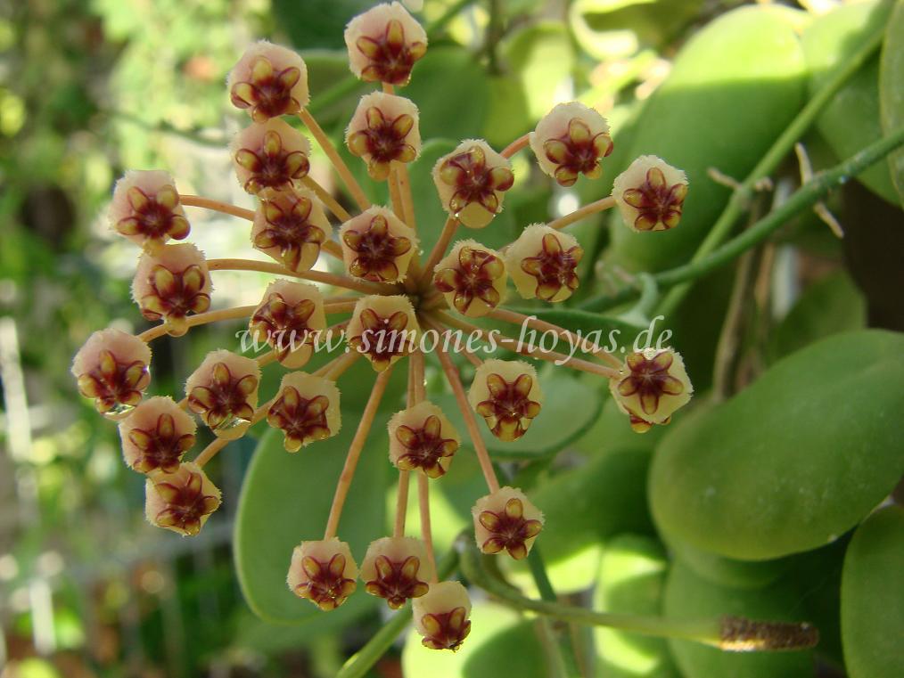 Hoya incurvula Blüte