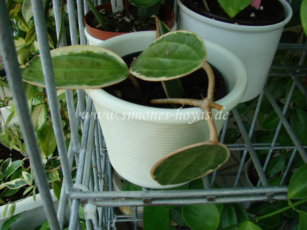 Hoya macrophylla variegata kleine Pflanze