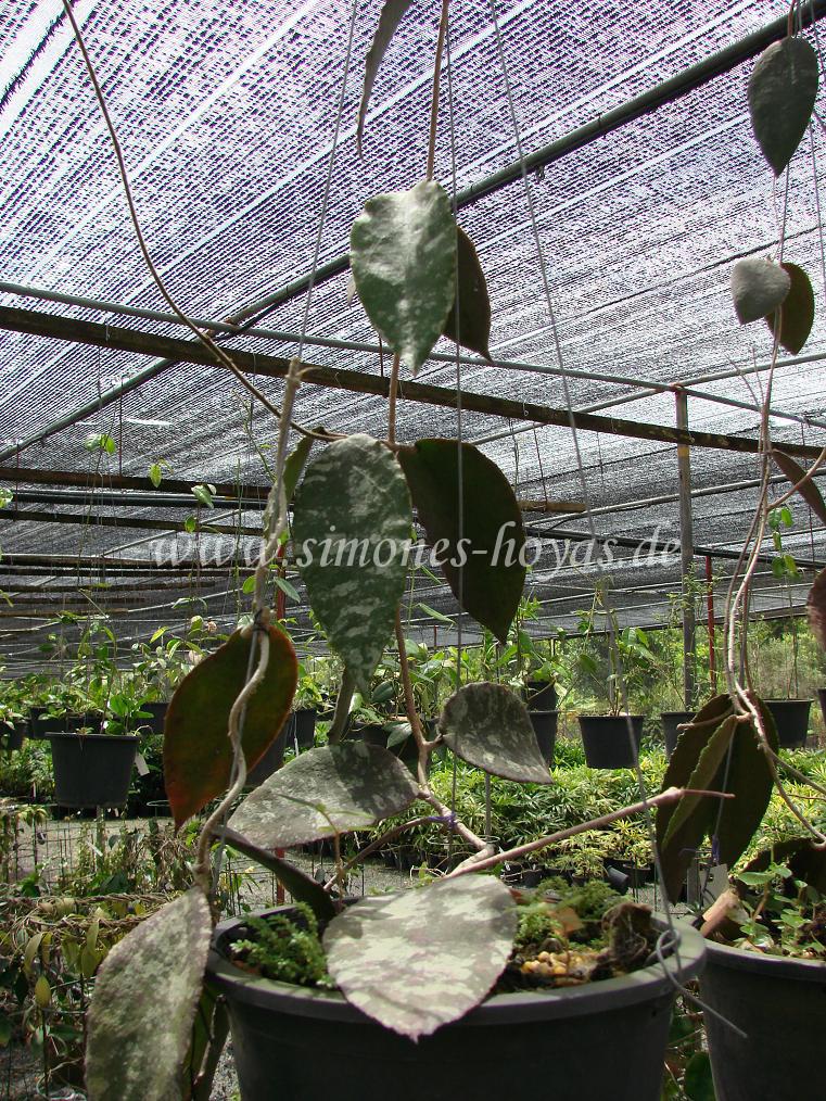 H. caudata im Nong Nooch Tropical Botanical Garden, Thailand, im August 2007
