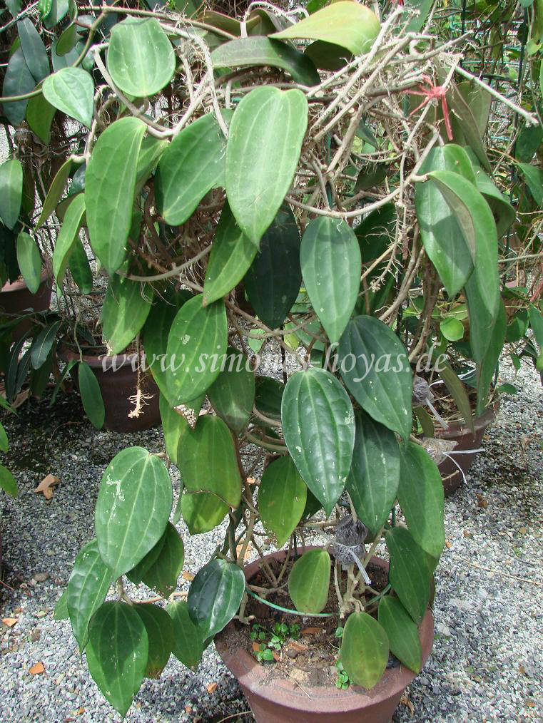 Hoya macrophylla große Pflanze