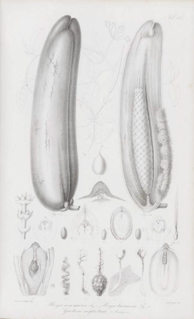 Blume, Rumphia 4, S. 31, Ausgabe 182 (1848), Tab 184, Vergleich der Samenhülsen von Hoya coronaria (Figur 1) und Hoya lacunosa (Figur 2)