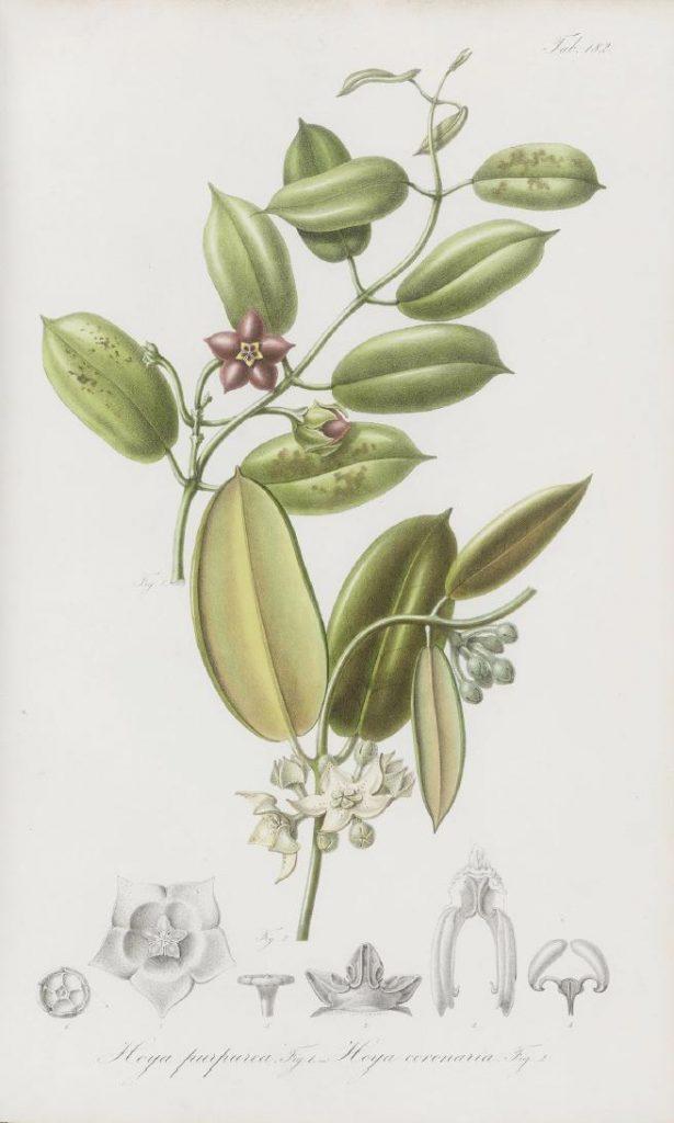 Tab 182, Hoya purpurea und Hoya coronaria