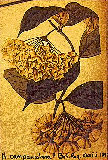 Lindleys Botanischen Register (1847), Tafel 54 H. campanulata Blume