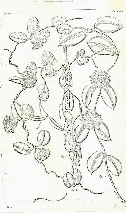 J. Constantin: Flore Generale des Indo-Chine 4 (1912) S. 130