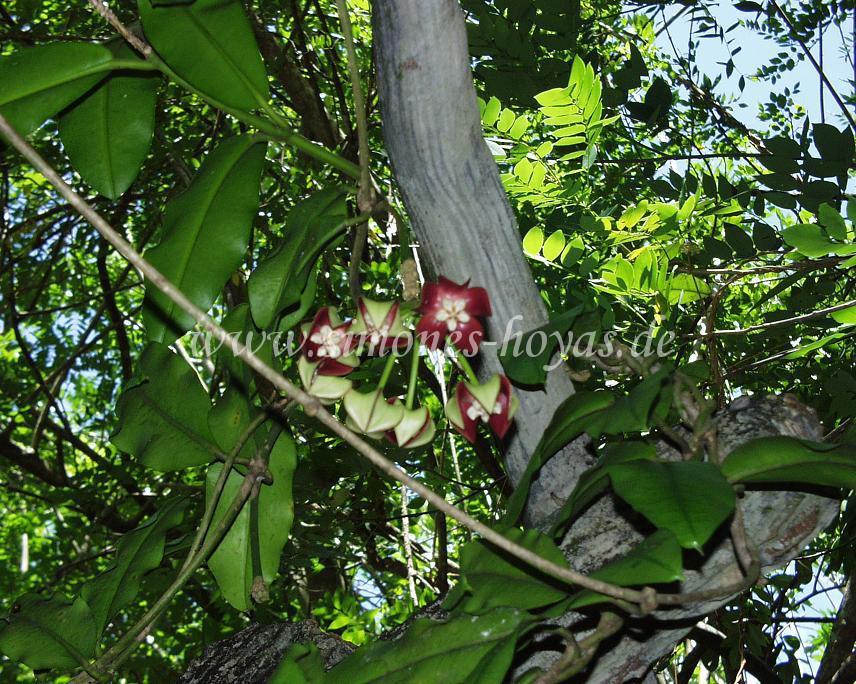 H. imperialis blühend in Sabah, Borneo im Sommer 2006
