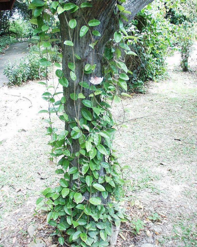 H.carnosa Krinkle Pflanze im Baum