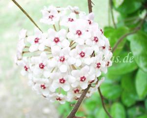 Hoya carnosa Krinkle blühend