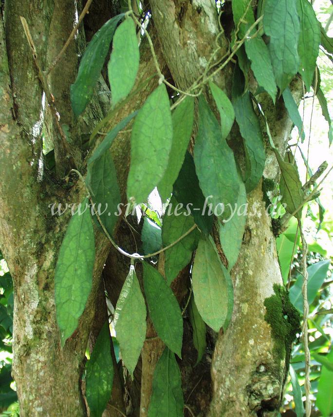 H. clemensiorum im Taman Pertanian in Tenom, Sabah/ Borneo im August 2006