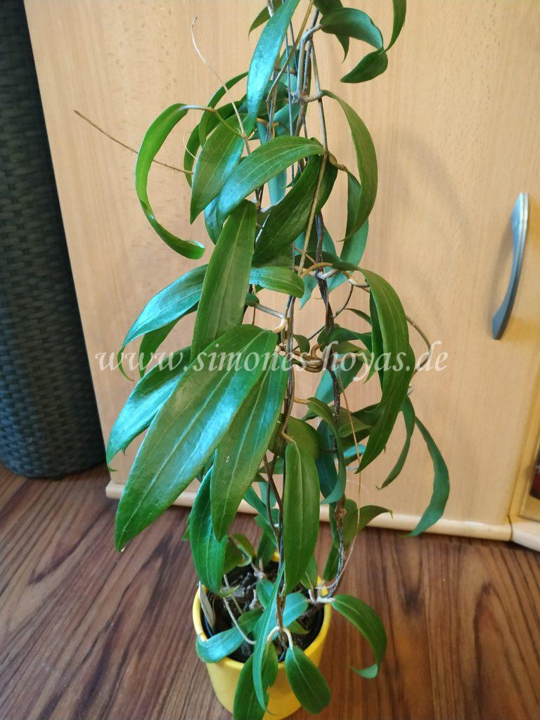Hoya blashernaezii ssp. valmayoriana Pflanze