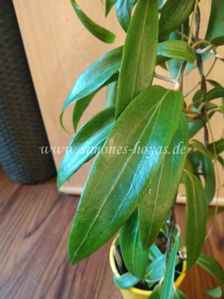 Hoya blashernaezii ssp. valmayoriana Blatt Detailaufnahme