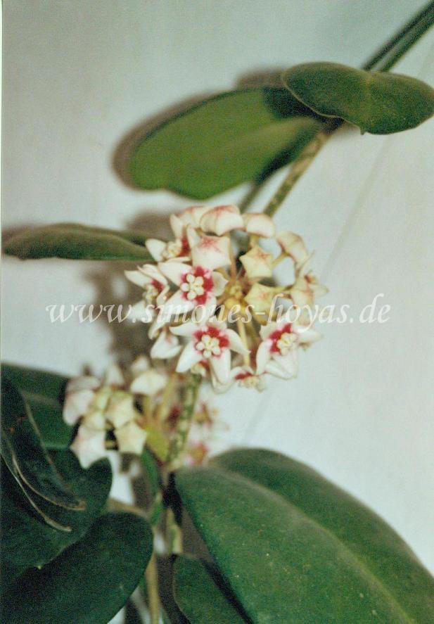 Hoya calycina Pflanze mit Blüte