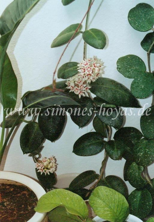 Hoya calycina Pflanze mit Blütendolde