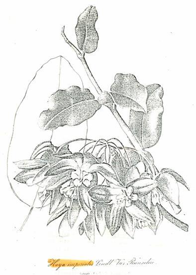 """Zeichnung aus """"Gartenflora (1855), S.282 Tafel 130"""