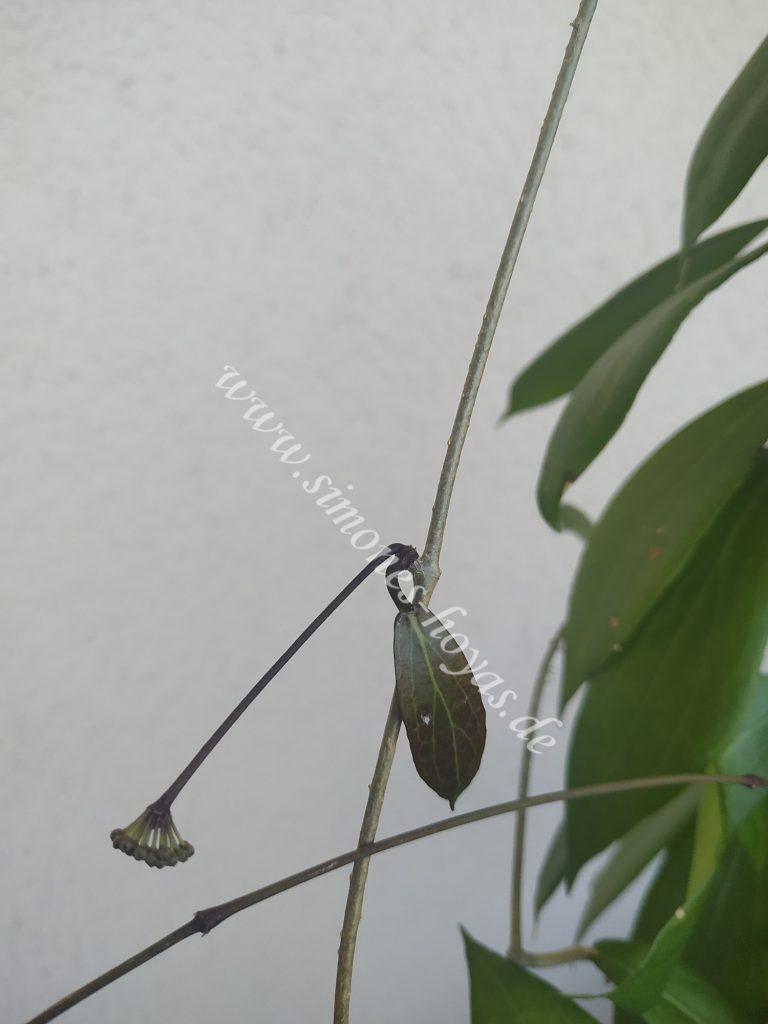 Hoya camphorifolia Knospe